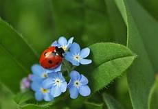 feenstadl die blaue schatzblume vergissmeinnicht