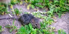 Comment Se D 233 Barrasser Des Rats Souris Et Autres Rongeurs