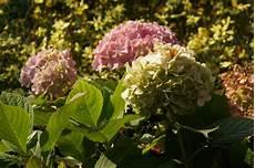 hortensien blätter werden braun h 228 ufige krankheiten bei hortensien braune bl 228 tter was