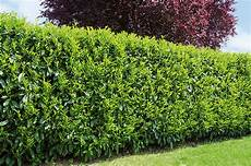 Best Privacy Hedges Evergreens For Privacy