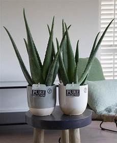 blumen senf 174 hochwertige zimmerpflanzen