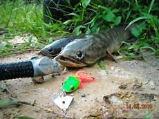 Born 2 Fish Ikan Haruan Snake