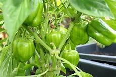 paprikapflanzen erfolgreich 252 berwintern selbstversorger