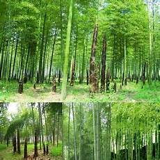 100pcs Seeds Phyllostachys Pubescens Moso Bamboo Seeds
