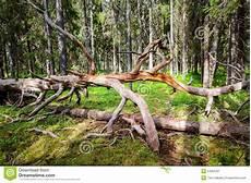 arbre mort achat arbre gris mort tordu dans la for 234 t verte moussue photo