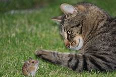Cat And Mouse Cats Animals Background Wallpapers On