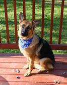 17 Best Images About German ShepherdPart 14CLOSED On