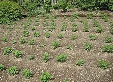 kartoffeln pflanzen kartoffeln setzen das manufactum