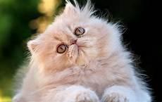 gatti persiani razze di gatto il persiano