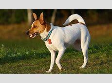 Rat Terrier Puppies For Sale   Rat Terrier Breed Info