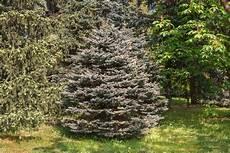 schnell wachsende sträucher extrem schnell wachsender nadelbaum lq76 casaramonaacademy