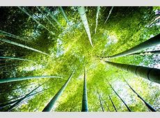 Bamboo Plants: Facts, Growing Tips, Uses, Impostors