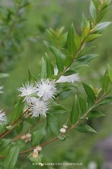fiori di mirto fiori commestibili quali sono i fiori eduli e come si