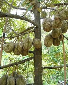 Budidaya Durian Ahmghozali523