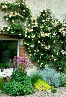rosier grimpant planter et tailler ooreka