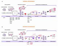 a for skeletal muscle stem cell behavior during myogenesis a download scientific