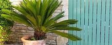 palmier exterieur en pot palmier en pot culture en ext 233 rieur ou en int 233 rieur