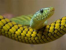 My Toroool HD Wallpaper Of Yellow Snake