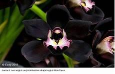 78 Gambar Anggrek Hitam Kalimantan Infobaru