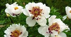was macht mit pfingstrosen nach der blüte strauch pfingstrosen richtig pflanzen mein sch 246 ner garten