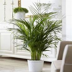 Indoor Plant Kentia Palme