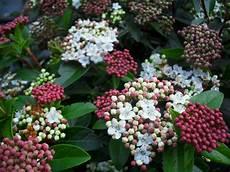 viburnum tinus winterhart viburnum tinus price evergreen shrub flattened