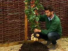 kartoffel tomaten pflanze tom tato grows potatoes and tomatoes business insider