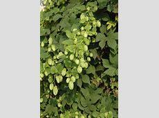 Nugget Ornamental Golden Hops (Humulus lupulus 'Nugget