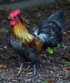 Cara Ternak Sapi Gendut Ternak Ayam Jantan