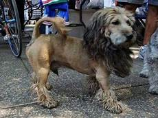 lion cut looks great this dog grooming pinterest lion and dogs