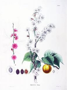 peinture japonaise synonyme plum blossom wiktionary