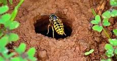 wespennest selbst entfernen was tun um wespen