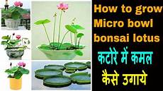 how to grow lotus from seed day how to grow micro bowl bonsai lotus plant from seeds at