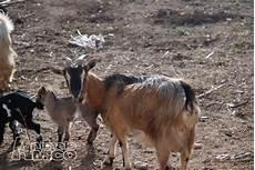 cerco animali da cortile in regalo vendita capra da privato a roma animali da cortile capra