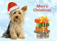 66 best yorkies christmas images pinterest