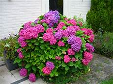 ortensie in vaso new hydrangea nou hortensia a garden in the