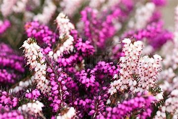 Image result for Flowering Heather