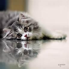 Gambar Atau Foto Kucing Lucu Dan Imut Anggora
