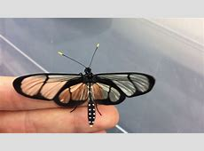 Methona confusa   Glass Butterfly   YouTube