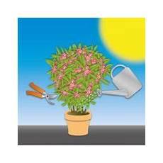 oleander pflege und schnitt oleander im garten standort pflege schnitt