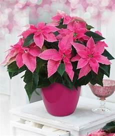 weihnachtsstern pflanze pflege weihnachtsstern pflegen pflanzen richtig 252 berwintern