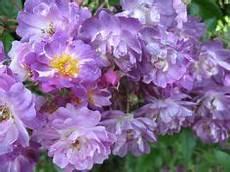 rosier liane sans epine rosier grimpant violette 1921 cramoisi pourpr 233 parfois