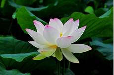 White Flowers Hd Images by Lotus Flower Wallpapers Wallpaper Cave