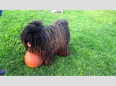 Rasta Dog (HUNGARIAN PULI) playing ball VENICE BEACH