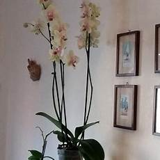 le domande all esperto su orchidea phalaenopsis