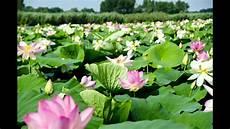 fiori e meravigliosa fioritura dei fiori di loto sul lago