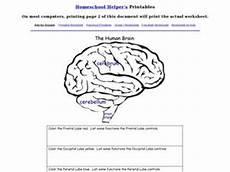 the human brain 9th 12th grade worksheet lesson planet