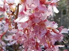 säulenkirsche richtig schneiden japanische zierkirsche schneiden japanische zierkirsche