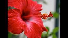 fiore di morning kuya medicinal benefits of gumamela