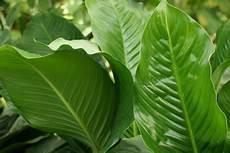Einblatt Lässt Blätter Hängen - einblatt pflege anleitung f 252 r spathiphyllum